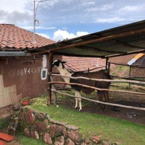 Anticorps de lama : nos chercheurs participent au combat contre le Covid-19